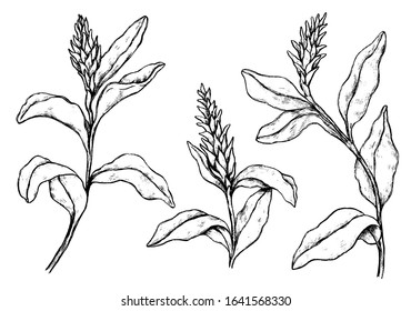 Hand drawn vector illustration. Collection of tropical plants. Set of Ginger flowers. Vintage botanical realistic sketches isolated on white. Outline elements for design, typography, print, poster etc