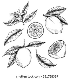 Hand drawn vector illustration - Collections of Lemons. Blossom plant with leaves