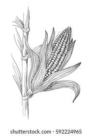 Hand drawn vector illustration of corn grain stalk sketch