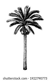 Hand drawn vector illustration of date palm tree. Ink sketch isolated on white background. Retro style.