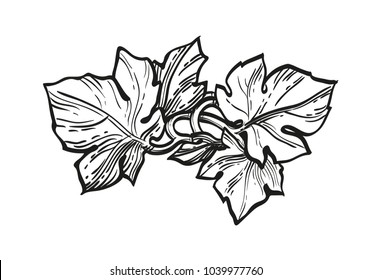 Hand drawn vector illustration of grape leaves. Ink sketch isolated on white background. Retro style.