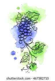 Hand drawn vector illustration of grape branch. Retro style. Watercolor background.