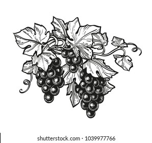 Hand drawn vector illustration of grapes. Ink sketch isolated on white background. Retro style.