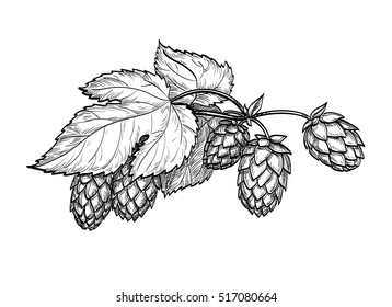 Hand drawn vector illustration of hops. Isolated on white background. Hand drawn vector illustration. Retro style.