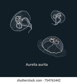 Hand drawn vector illustration of jellyfish Aurelia aurita, also called the common jellyfish, moon jellyfish, moon jelly, or saucer jelly against dark background
