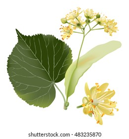 Hand drawn vector illustration of linden flowers, source of delicious honey and a fragrant herbal tea ingredient, on transparent background.