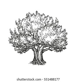 Hand drawn vector illustration of olive tree. Isolated on white background. Retro style.