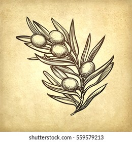 Hand drawn vector illustration of olive branch. Old paper background. Retro style.