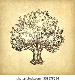 Hand drawn vector illustration of olive tree on old paper background. Retro style.