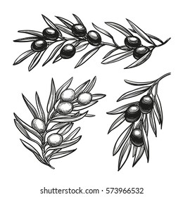 Hand drawn vector illustration of olive branches. Isolated on white background. Retro style.