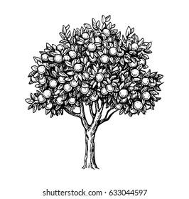 Hand drawn vector illustration of orange tree. Isolated on white background. Retro style.