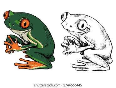 Hand drawn vector illustration of Red-eyed tree frog. Set of contour and color drawing isolated on white. Realistic cute reptile, animal sketch. Elements for design poster, print, postcard, t-shirt.