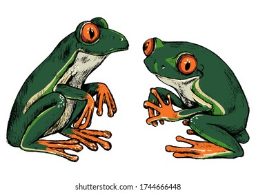 Hand drawn vector illustration set. Two red-eyed tree frogs. Realistic cute reptiles colored collection isolated on white. Wild animals sketches. Elements for design poster, print, postcard, t-shirt.