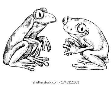 Hand drawn vector illustration set. Two red-eyed tree frogs. Realistic cute reptiles outline collection isolated on white. Wild animals sketches. Elements for design poster, print, postcard, t-shirt.
