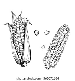 Hand drawn vector illustration set of corn, grain, stalk. sketch. Vector eps 8