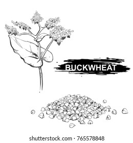Hand drawn vector illustration set of buckwheat, grain. sketch. Vector eps 8