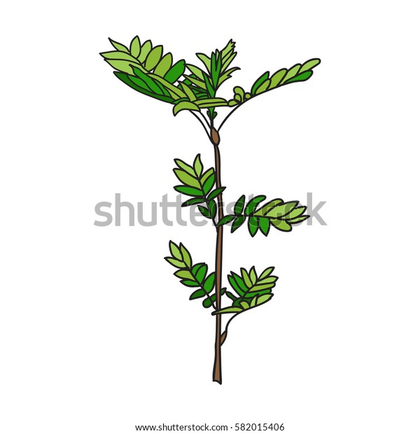 Hand drawn vector illustration with  spring young tree - in color, line art style drawing. Could be used as print, poster, book page.