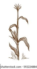 Hand drawn vector illustration standing stalk of corn sketch