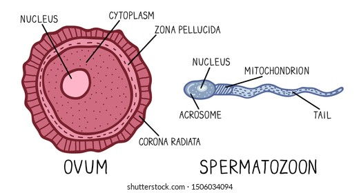 Hand drawn vector illustration. Structure of spermatozoon and ovum . Human sperm cell and egg cell.