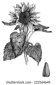 Hand drawn vector illustration of sunflower