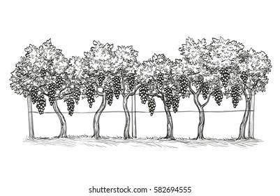 Hand drawn vector illustration of vineyard. Vine sketch isolated on white background.