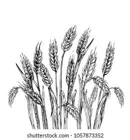 Hand drawn vector illustration of wheat. Isolated on white background.