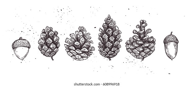 Hand drawn vector illustrations. Collection of winter pine cones and acorns. Forest vintage elements.