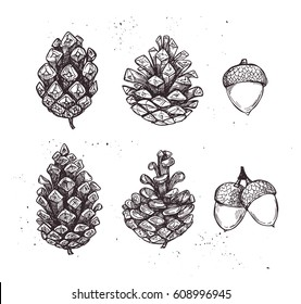 Hand drawn vector illustrations. Collection of pine cones and acorns. Forest vintage elements.