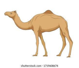 Hand drawn vector image of Camel on white background. Isolate the image from background and use for children alphabet kearning book. Alphabet C learning picture.