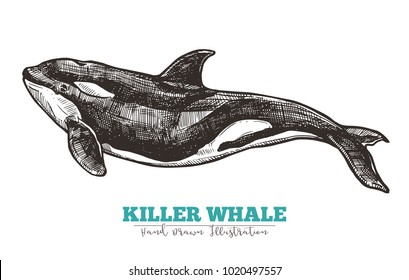 Hand drawn vector killer whale. Sketch engraving illustration