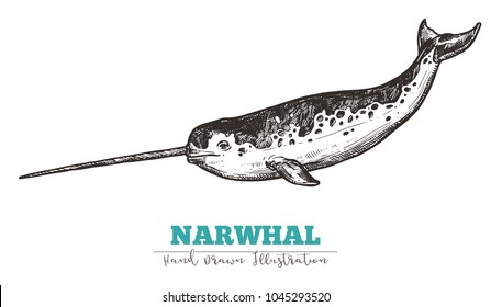 Hand drawn vector narwhal. Sketch engraving illustration of whale