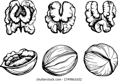 Hand drawn vector outline illustration of a walnut. Walnut kernels and shells. Handwritten graphic technique