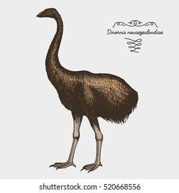 hand drawn vector realistic bird, sketch graphic style, moa bird, dinornis novaezelandiae extinct species.