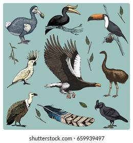 hand drawn vector realistic bird, sketch graphic style, set of domestic. griffon vultures, cockatoo and broad-billed parrot. rhinoceros hornbill and extinct species. moa, dodo and feather.