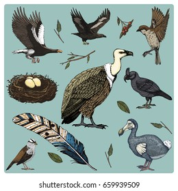 hand drawn vector realistic bird, sketch graphic style, set of domestic. griffon vultures and broad-billed parrot. rhinoceros hornbill and extinct species. moa, dodo and feather. Nest with eggs.