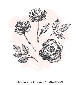 Hand drawn vector roses. Floral hand sketched illustration