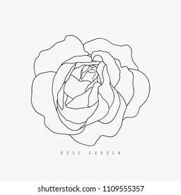Hand drawn vector tea-rose contour on the white background