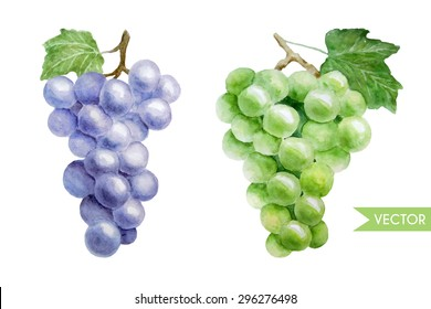 Hand drawn vector watercolor illustration of green and violet grape twigs. Isolated on white