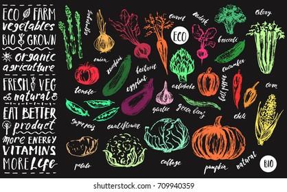 Hand drawn vegetable set. Asparagus, artichoke, onion, tomato, cabbage, cauliflower, garlic, pumpkin, zucchini, broccoli, corn, pepper, eggplant, celery, beetroot, carrot, cucumber, chili, radish.