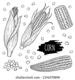 Hand drawn vegetable set of corn cobs and grain. Vegetable isolated on white background with label. Design for shop, market, book, menu, banner. Outline ink slyle sketch. Vector coloring illustration.