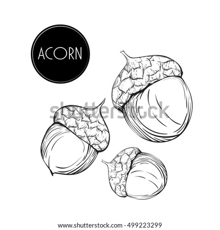 Hand Drawn Vintage Autumn Acorns Vector Acorns Stock Vector Royalty