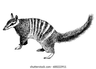 Hand drawn vintage illustration of Numbat (banded anteater, marsupial anteater, walpurti)