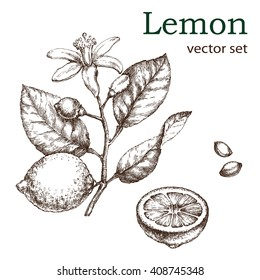 Hand drawn vintage lemon plant. Elements for the graphic design of the menu bars, restaurants, invitations, announcements. Whole and cut fruit lemon, lemon tree branch and flower.