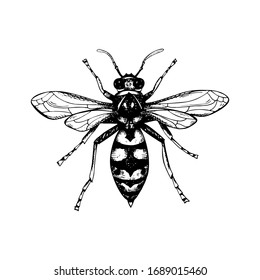 Hand drawn wasp isolated on white. Vector illustration in sketch style
