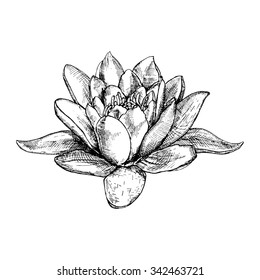 hand drawn water lily