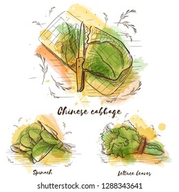 Hand drawn watercolor greenery set. Vector fashion illustration. Vegetarian healthy food. Natural card design. Chinese cabbage, spinach, lettuce leaves.