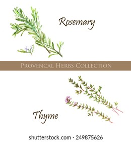 Hand drawn watercolor illustration of different provencal herbs: rosemary and thyme, isolated and vectorized