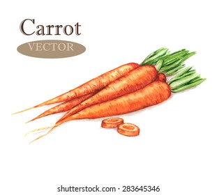 Hand drawn watercolor illustration of fresh orange ripe carrots. Isolated on the white background, vector. Vegetarian food product