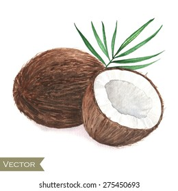 Hand drawn watercolor illustration of isolated coconut on the white background in vector