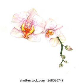 Hand drawn watercolor illustration of tender white orchid branch isolated on the white background